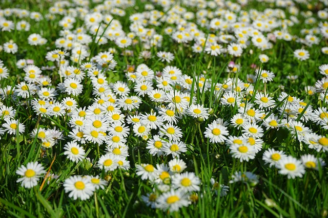 Can you eat daisies