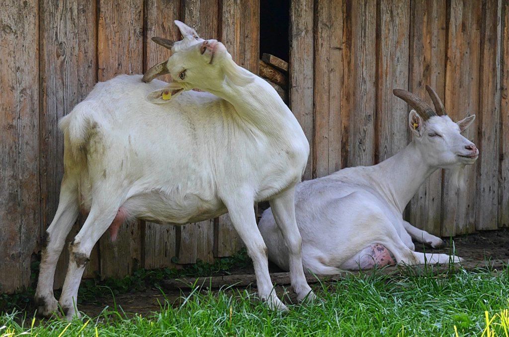 Livestock for starting a smallholding