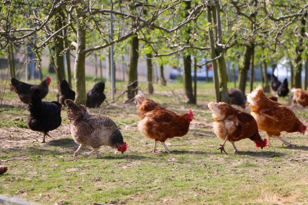 keeping chickens cool in summer