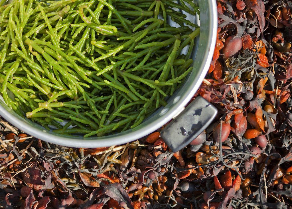 foraging for samphire