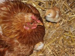 Keeping chickens safe from predators