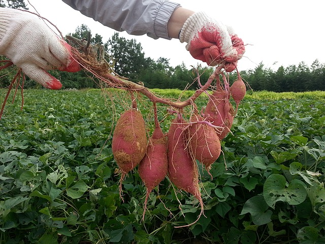 how to grow sweet potatoes in the UK